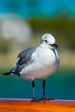 Seagull standing Stock Images