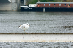Seagull standing on a railing near the river Royalty Free Stock Photos