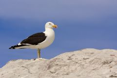 Seagull standing on rock Royalty Free Stock Images