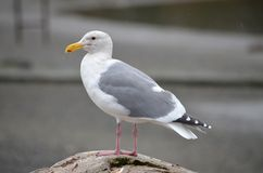 Seagull standing on a rock stock photo