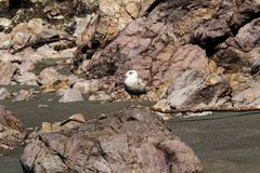 Seagull Standing On Rock At Beach Northern California stock photo