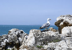 Seagull standing on a rock looking over the ocean Stock Photos