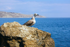 Seagull standing on a rock. Seagull standing on a  sea rock Stock Photography