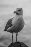 Seagull standing on the rock Stock Image