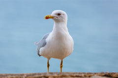 Seagull standing on the rocks against the sea. Seagull standing on the rocks Stock Photos