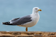 Seagull standing on the rocks against the sea. Seagull standing on the rocks Stock Image