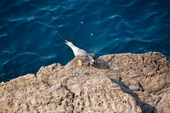 Seagull standing on the rocky coast with clean blue water. Stock Photography