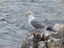 Seagull standing on a rocky shore of the Istrian Adriatic coast Stock Photo