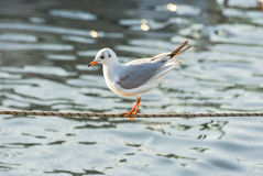 Seagull standing on a rope in marina. Royalty Free Stock Image