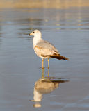 Seagull standing in sand Stock Photography