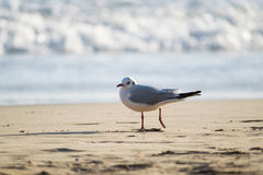 Seagull standing on sand beach in front of the sea Royalty Free Stock Image