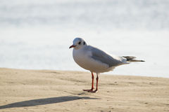 Seagull standing on sand beach in front of the sea Royalty Free Stock Images