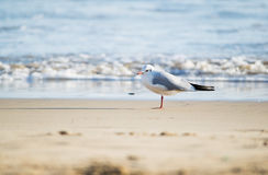 Seagull standing on sand beach in front of the sea Royalty Free Stock Photos