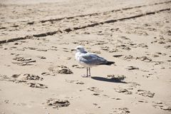 Seagull standing on a sand. Lonely seagull standing on a rough sand royalty free stock photos