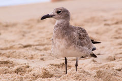 Seagull Standing in the Sand royalty free stock image