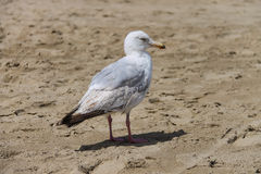 Seagull standing on sandy beach in Zandvoort, the Netherlands Royalty Free Stock Images
