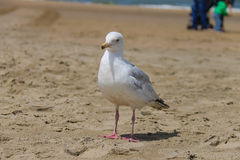 Seagull standing on sandy beach in Zandvoort, the Netherlands Royalty Free Stock Image