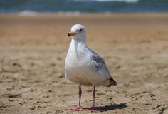 Seagull standing on sandy beach. Zandvoort, the Netherlands Royalty Free Stock Image