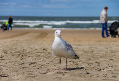 Seagull standing on sandy beach. Zandvoort, the Netherlands Royalty Free Stock Photos