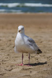 Seagull standing on sandy beach. Zandvoort, the Netherlands. Royalty Free Stock Photography
