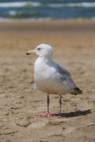 Seagull standing on sandy beach in Zandvoort, the Netherlands Stock Images