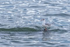 Seagull standing in the sea. Defiant of the water and the waves royalty free stock images