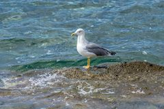 Seagull standing by the sea Royalty Free Stock Photos