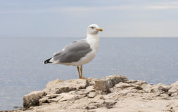 Seagull standing on sea stone and looking at camera Stock Photos
