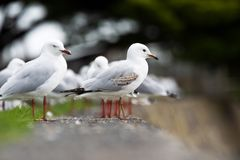 Seagull standing on a sea wall Stock Images