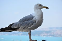 Seagull standing. Galata tower istanbul stock image