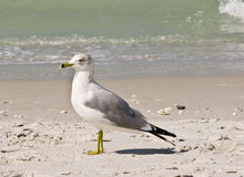 Seagull standing Royalty Free Stock Images