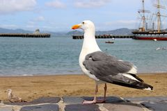 Seagull standing on the shore of the ocean and the ship Stock Images