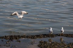 Seagull standing on the shore by the sea. Seagull are standing on the shore by the sea royalty free stock image