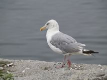 Seagull Standing By Shore Stock Photography
