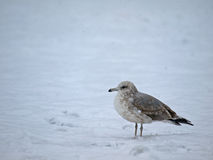 Seagull standing on Snow Royalty Free Stock Photo