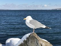 A seagull standing on a snow covered rock. With sea background in Portland winter, Maine, New England, United States royalty free stock photos