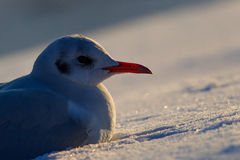 A seagull standing on the snow at sunset Royalty Free Stock Photography
