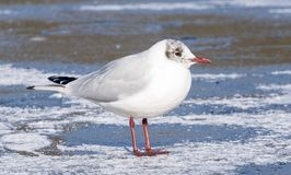 A seagull standing on the snowy ice on the cemetery lake Southampton Common Royalty Free Stock Photos