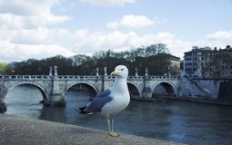 Seagull standing still on the side of river Tiber in Rome royalty free stock photos