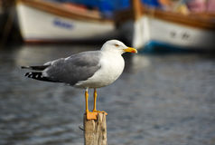 Seagull standing on a stump in marina. Stock Photo