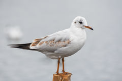 Seagull standing on a stump in marina. Royalty Free Stock Photos