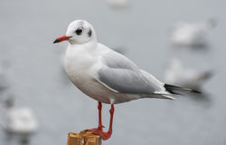 Seagull standing on a stump in marina. Stock Images