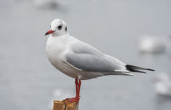 Seagull standing on a stump in marina. Stock Photos