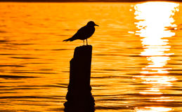 Seagull standing on a stump in marina at sunset. Royalty Free Stock Photography