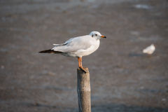 Seagull standing on a timber Stock Image