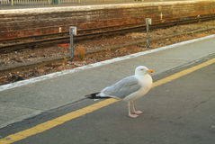 A seagull standing at the train station platform near mind the gap yellow line at the center of Easbourne Royalty Free Stock Photo