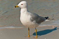 Seagull standing on a tropical shoreline of a beach Royalty Free Stock Photos