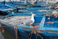 Seagull standing on a typical blue boat in a Essaouira fishing port, Morocco royalty free stock photo