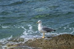 Seagull standing waiting Stock Images