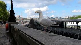 Seagull in London near the Thames River
